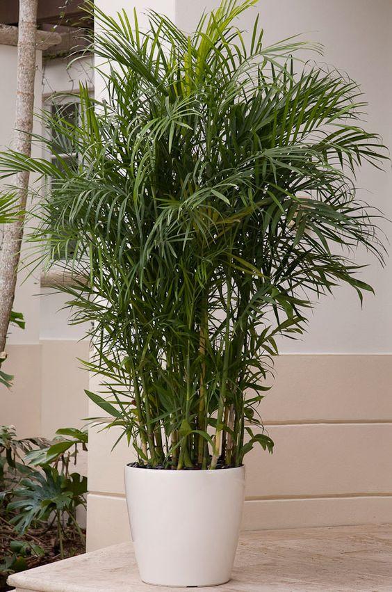 bamboo-plant