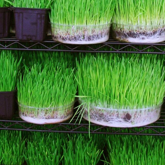 growing-and-consuming-wheatgrass-at-home