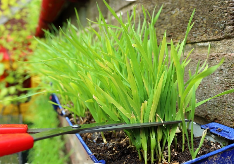 wheatgrass-cutting